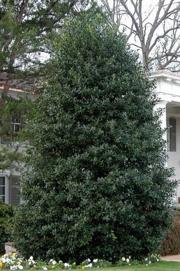 Picture of a Nellie R. Stevens Holly Broadlead Evergreen tree