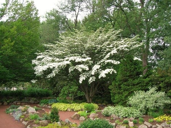 Picture of a Kousa Dogwood Deciduous Tree